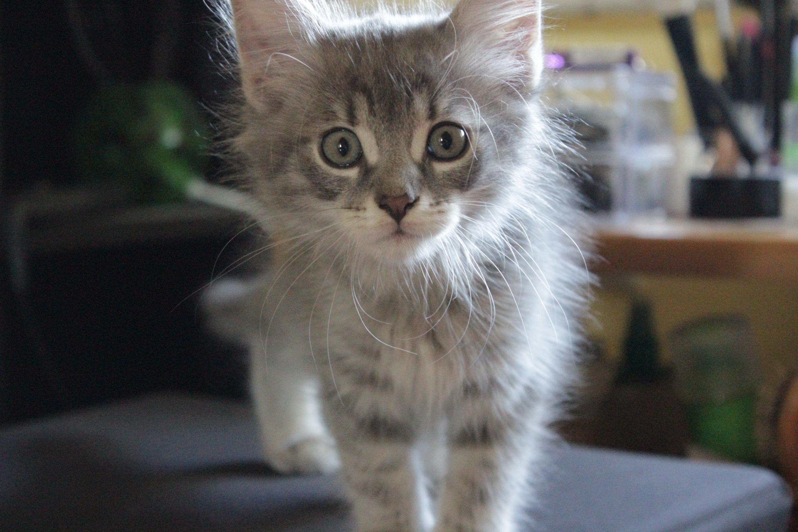 macska, cica, cicacsalád, cicás ajándékok